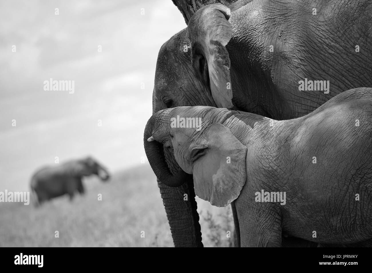 Elephants Roam the Serengeti - Stock Image