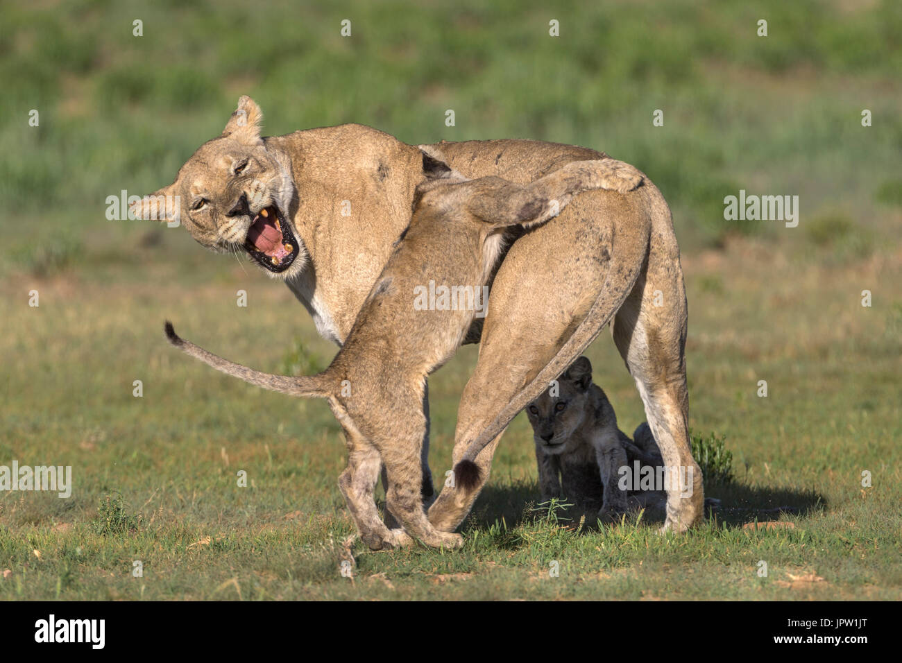 Lioness (Panthera leo) with cub, Kgalagadi transfrontier park, Northern Cape, South Africa, February 2017 - Stock Image