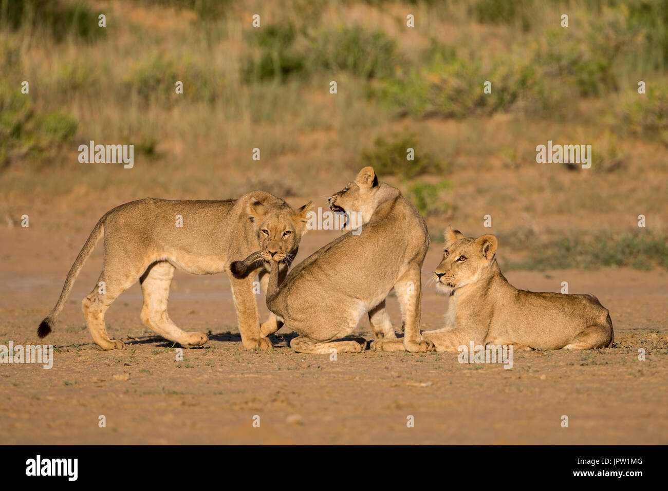 Young lions (Panthera leo) playing, Kgalagadi transfrontier park, Northern Cape, South Africa, February 2017 - Stock Image