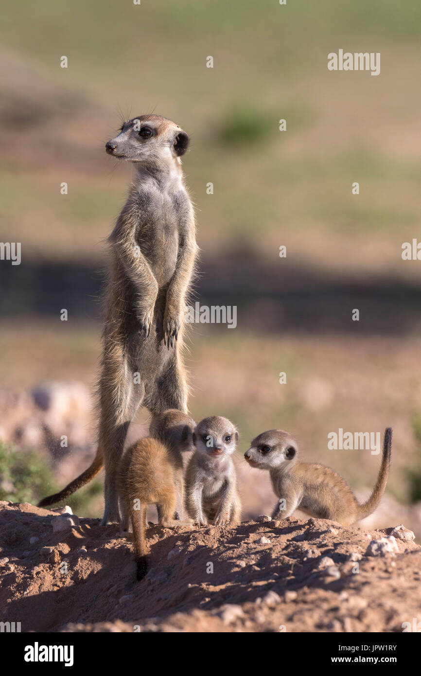 Meerkat (Suricata suricatta) with young, Kgalagadi Transfrontier Park, Northern Cape, South Africa, January 2017 - Stock Image
