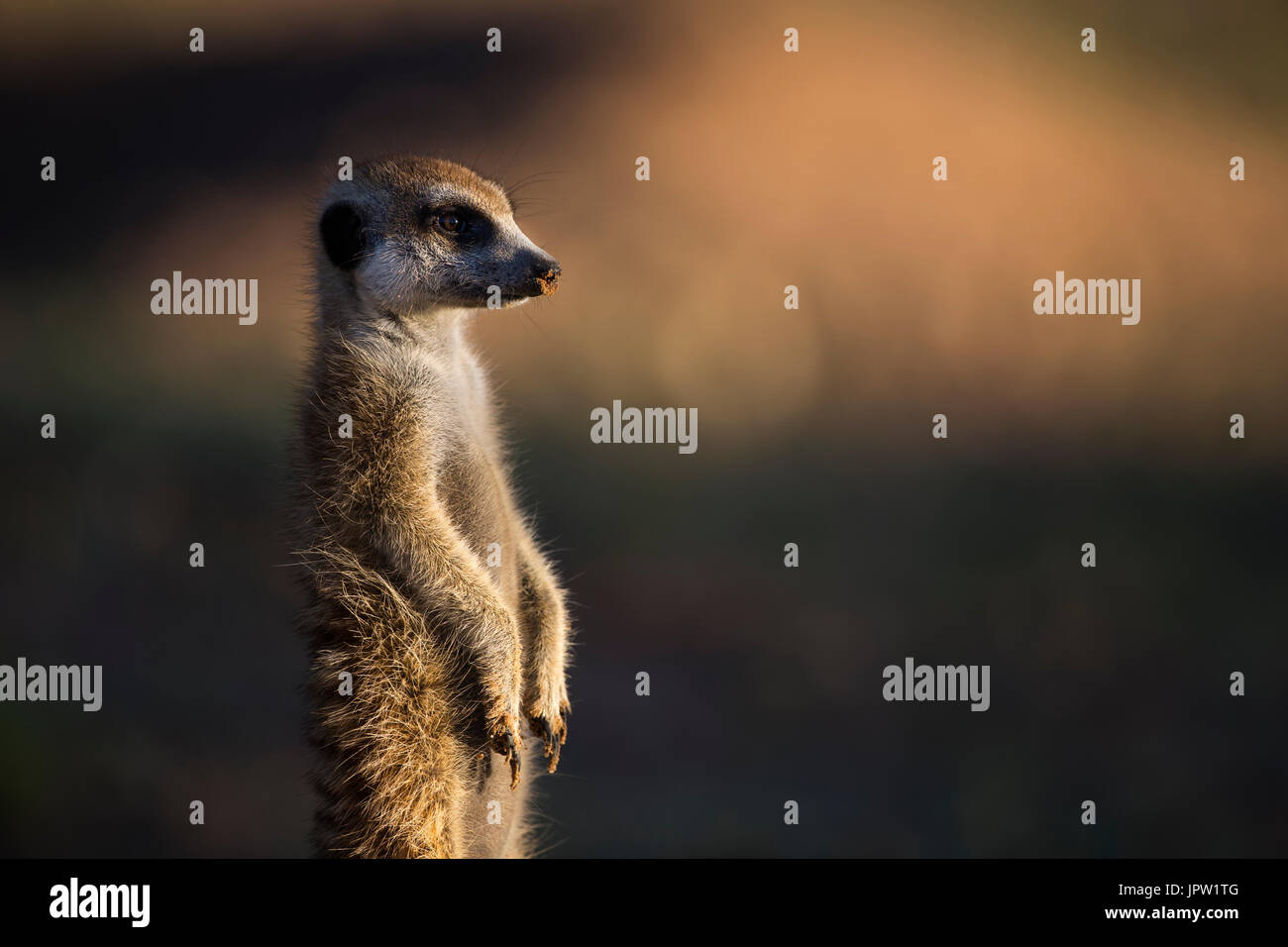Meerkat (Suricata suricatta), Kgalagadi Transfrontier Park, Northern Cape, South Africa, January 2017 - Stock Image