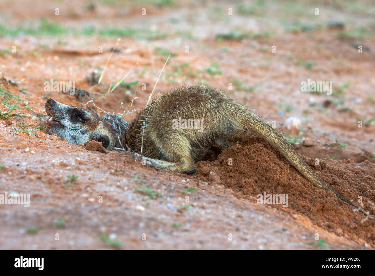 Meerkat (Suricata suricatta) digging, Kgalagadi Transfrontier Park, Northern Cape, South Africa, January 2017 - Stock Image