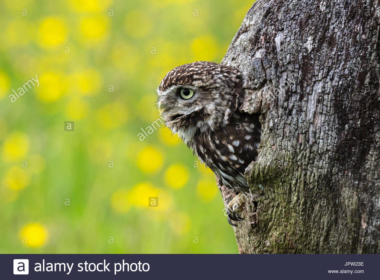 Little owl (Athene noctua), captive, Cumbria, UK - Stock Image