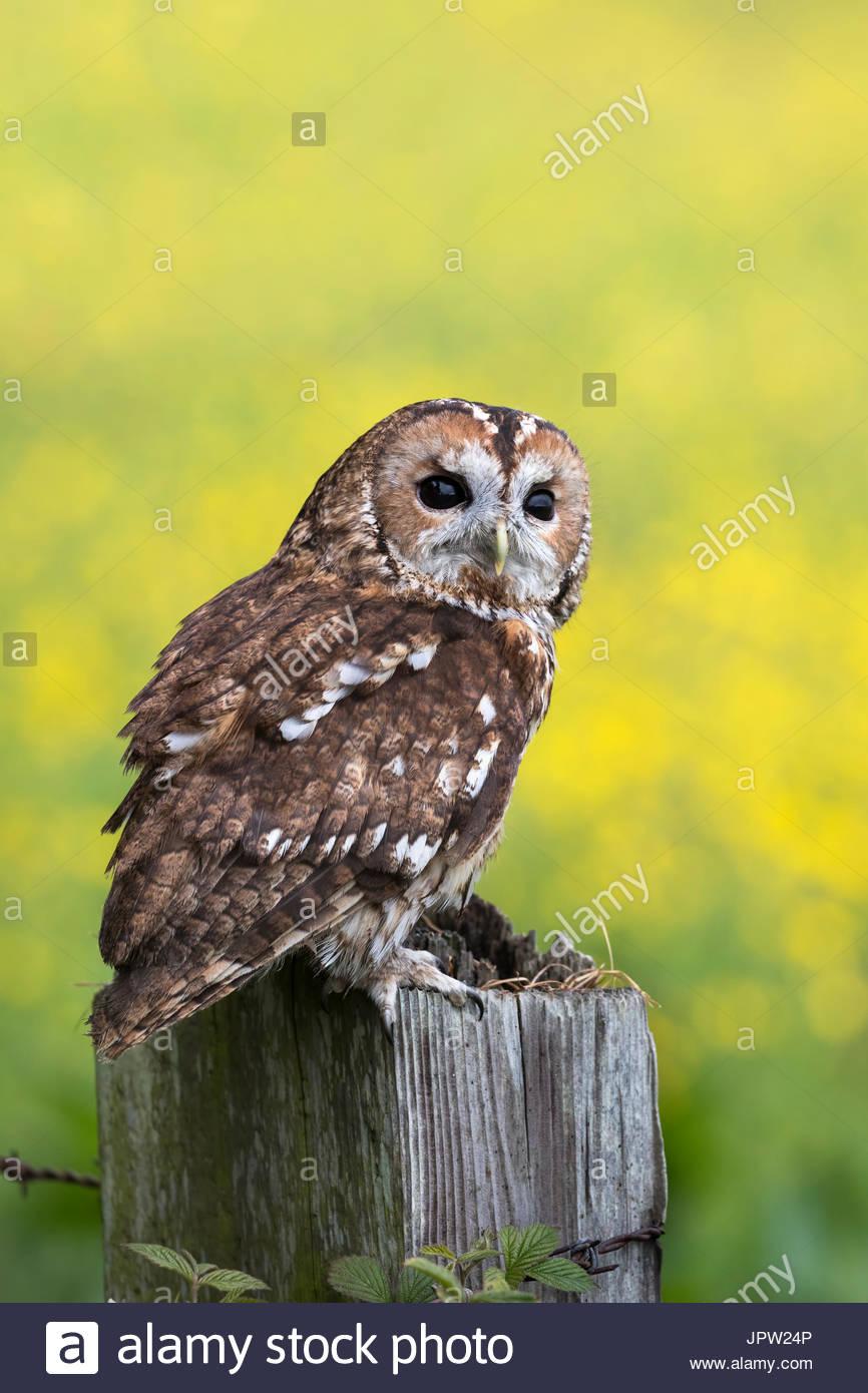Tawny owl (Strix aluco), captive, Cumbria, UK - Stock Image
