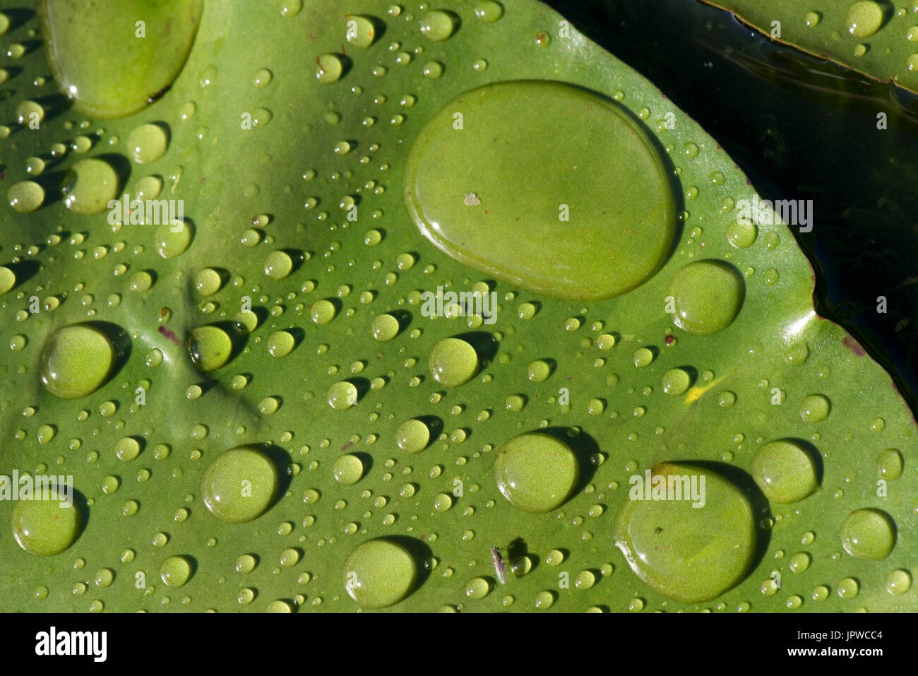 Rain drops round and discreet in bright sunshine on the surface of a water lily pad on a showery summer day, very water repellent. - Stock Image