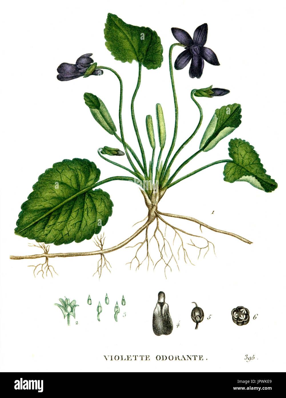 Botanical drawing of violet - Stock Image