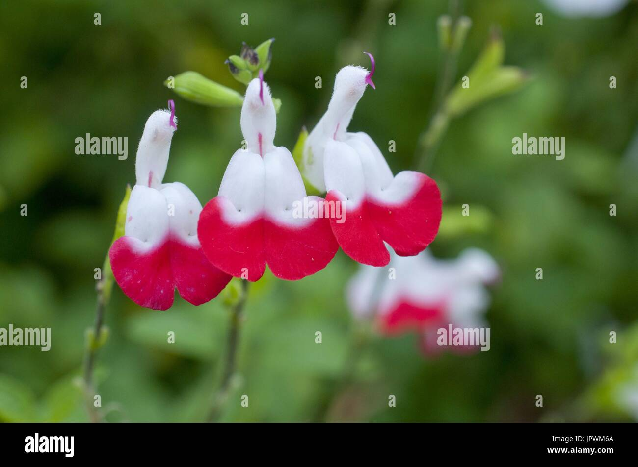 Sage 'Hot Lips' in bloom in a garden - Stock Image