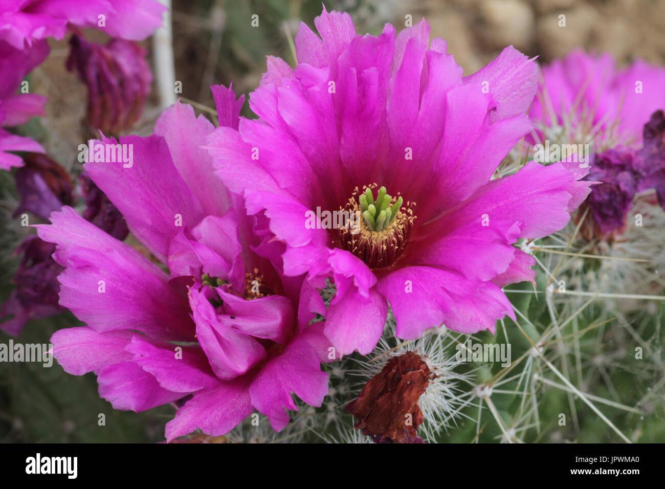 Enneacanthus stock photos enneacanthus stock images alamy for Zierfische barsch