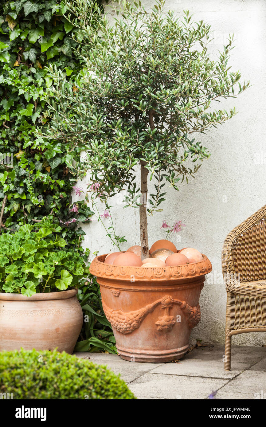Olive Tree In Pot On A Garden Terrace   Stock Image