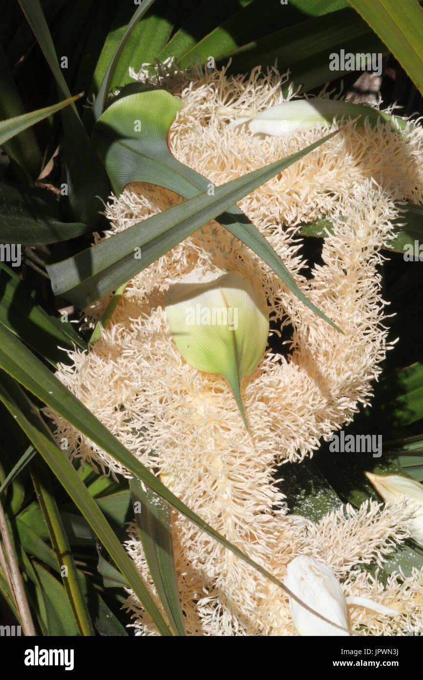 Pandanus inflorescence - Mascarin garden Reunion Stock Photo