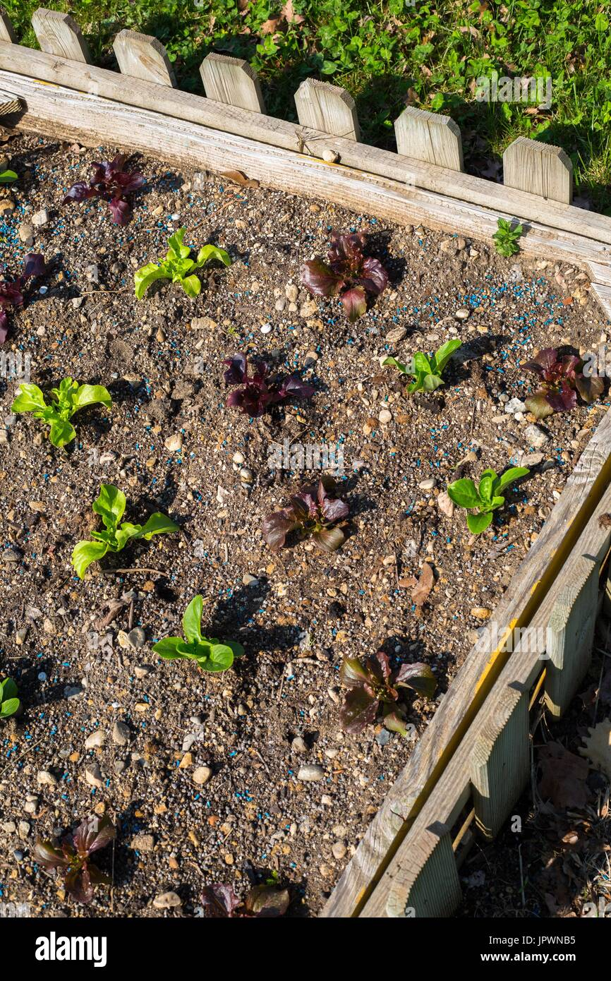 Young lettuces in a square foot kitchen garden, Provence, France ...