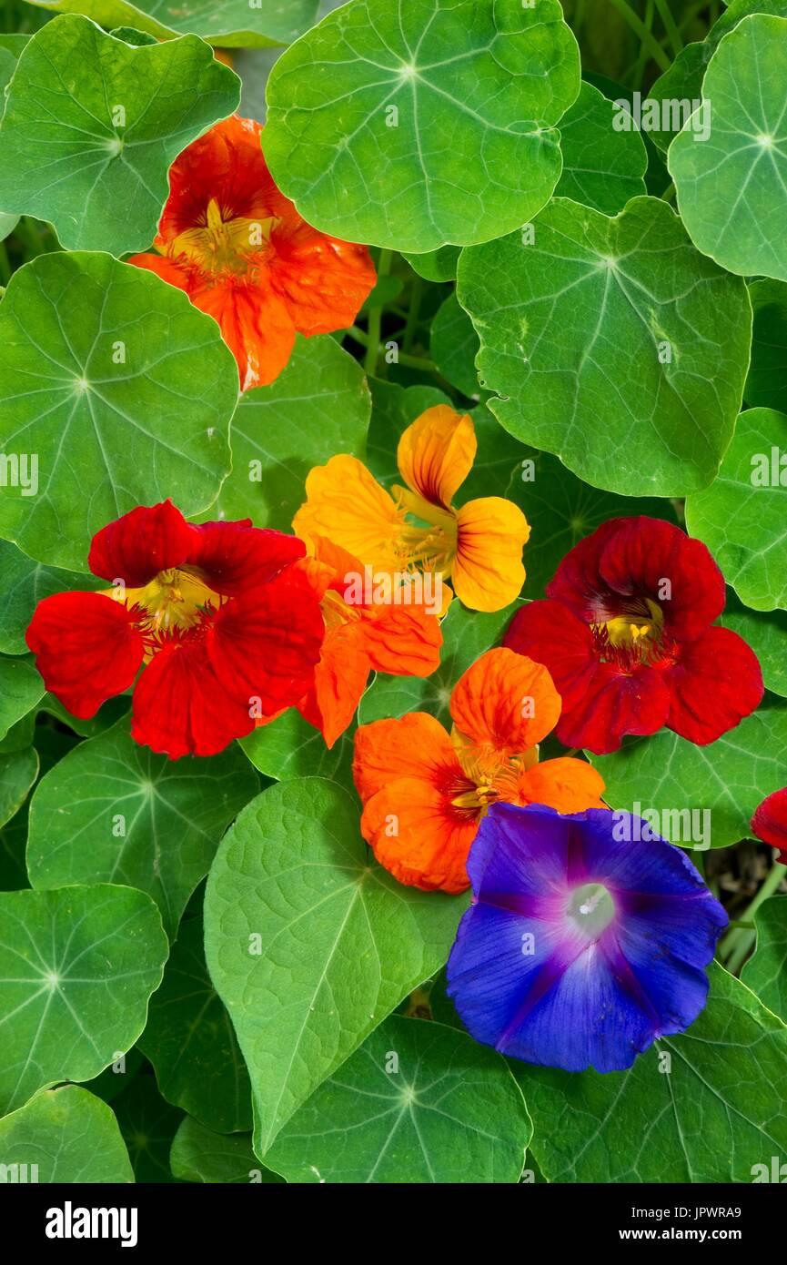 Garden nasturtium (Tropaeolum majus) and Common morning-glory (Ipomoea purpurea) - Stock Image