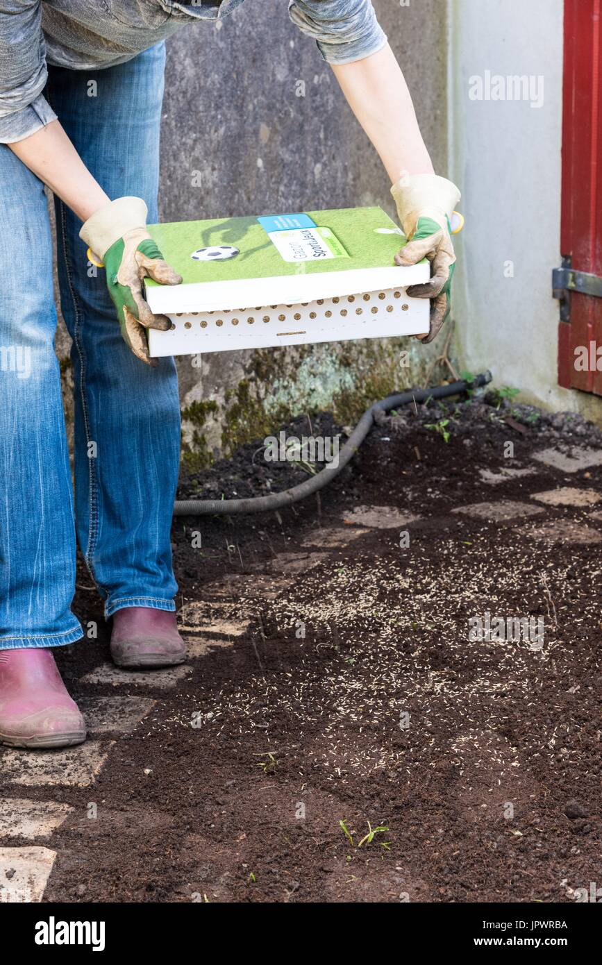 Sowing a lawn on a garden path - Stock Image