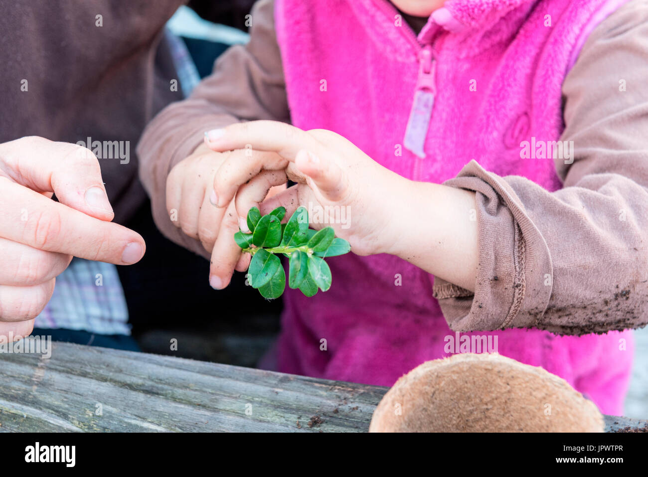 Little girl making a cutting from a box tree with the help of her mother - Stock Image