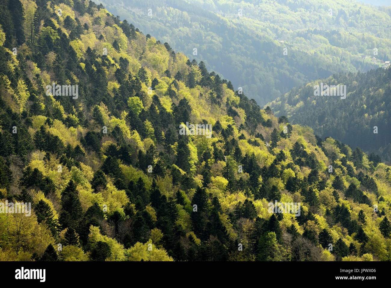 Pine-beech forest in spring - Vosges France - Stock Image