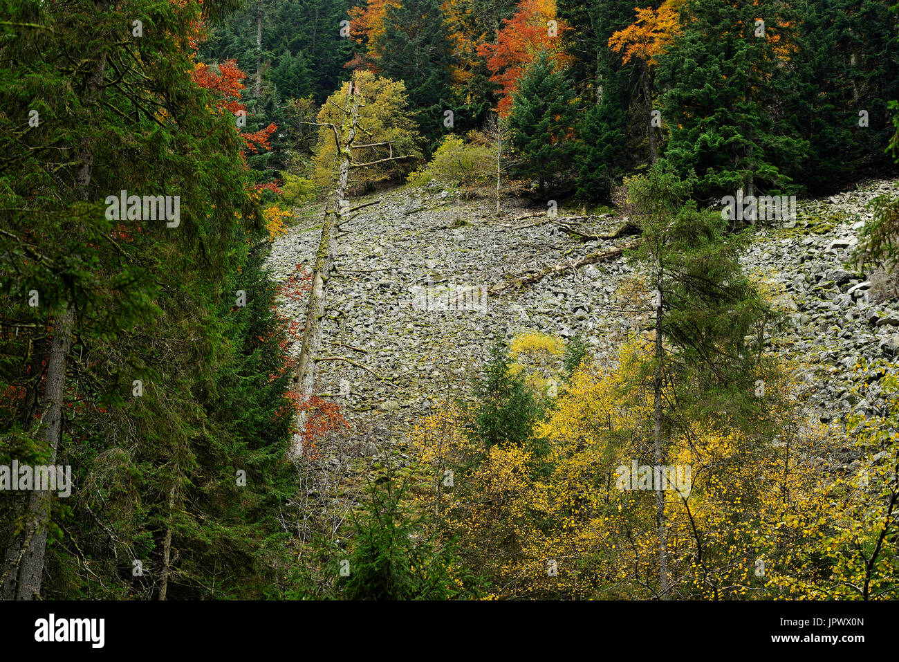 Forest on the scree Parade Straiture - Vosges France - Stock Image