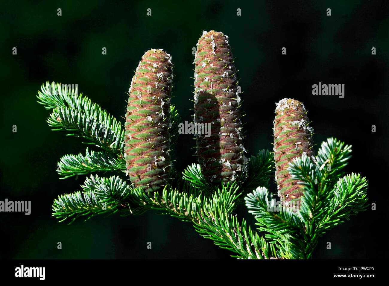 Silver fir cones in Catalonia - Spain - Stock Image