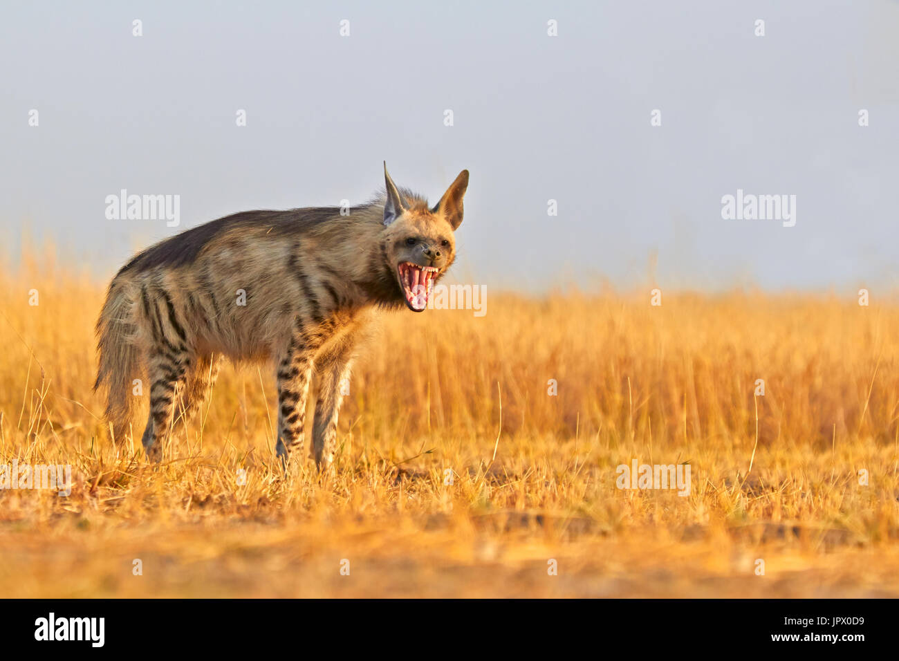 Striped Hyena in the savannah - Blackbuck NP India - Stock Image