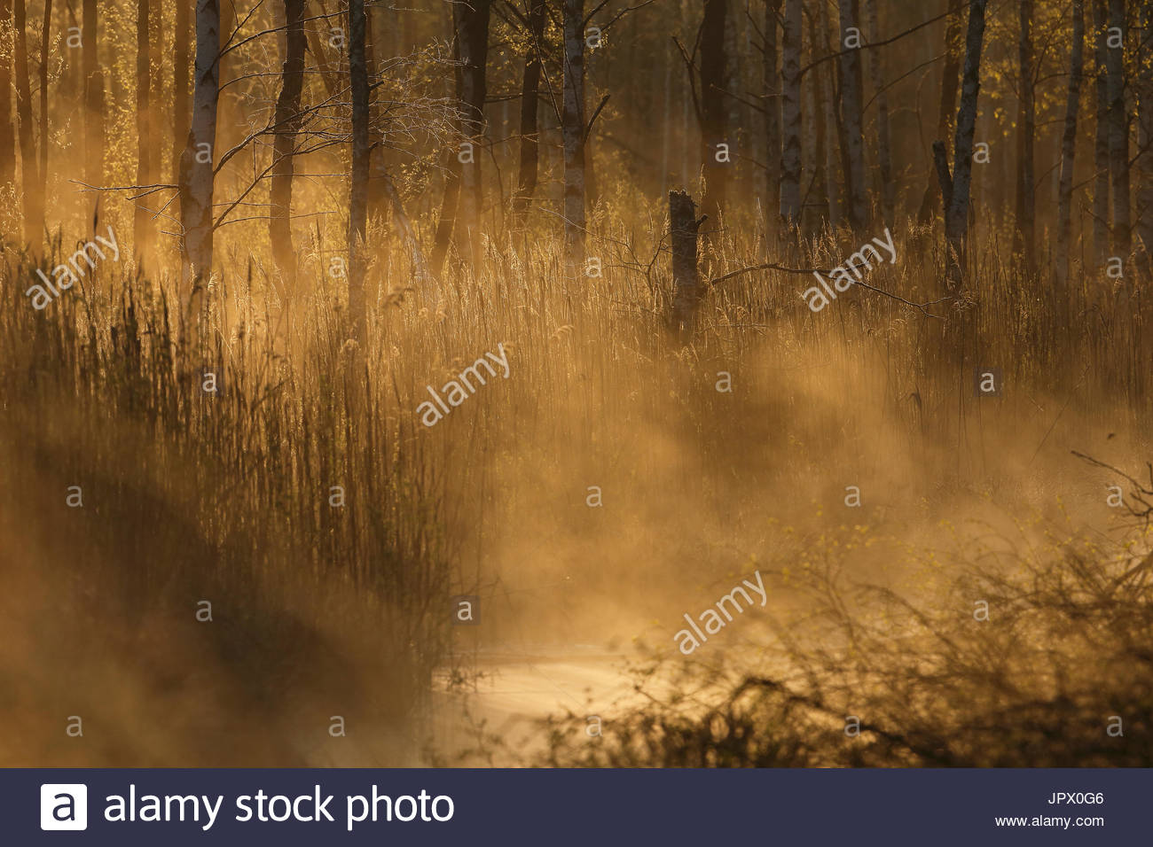 Swamp at dawn - Chernobyl area Ukraine - Stock Image