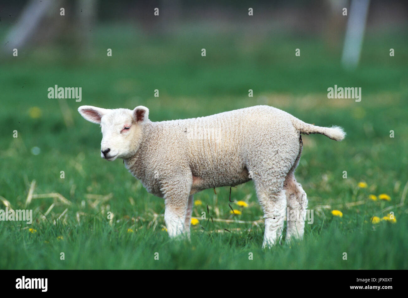 Lamb - Stock Image