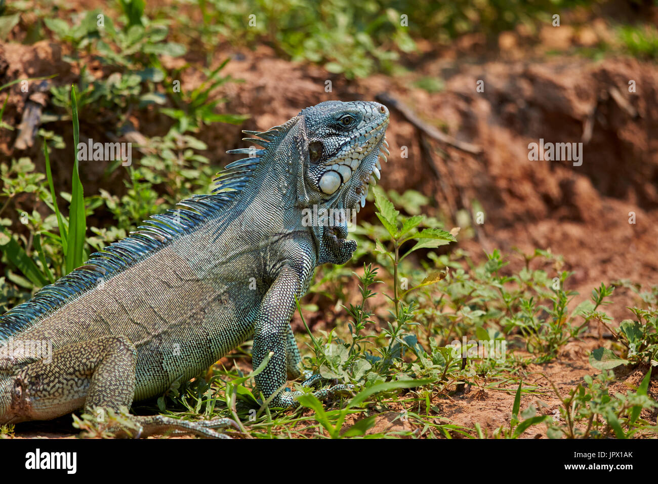 Green Iguana on the bank - Brazil Pantanal - Stock Image