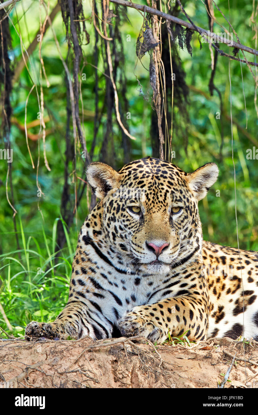 Portrait of Jaguar lying on the riverbank - Brazil Pantanal - Stock Image