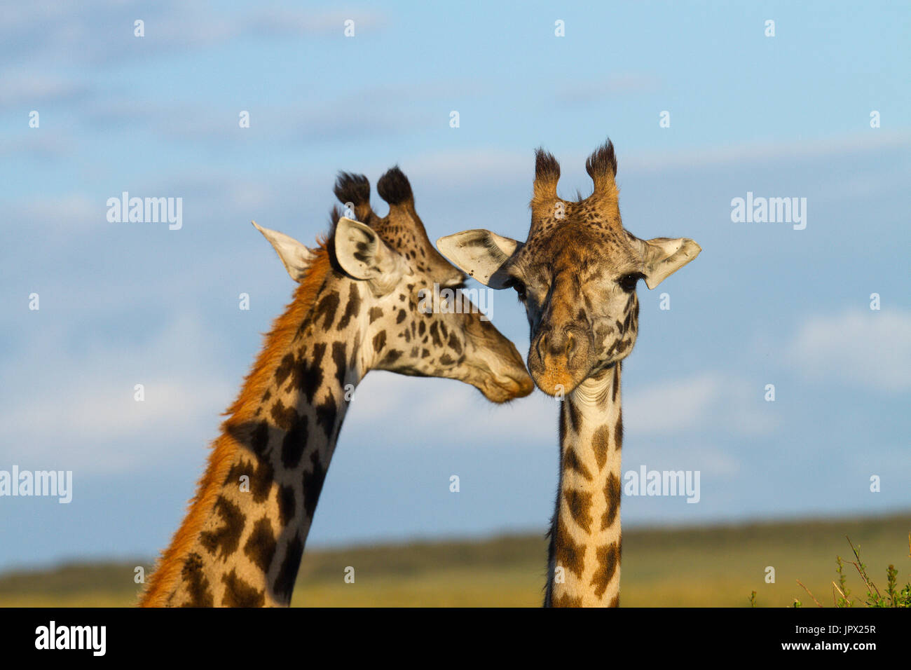Portrait of Masai Giraffes in the savanna - Masai Mara Kenya - Stock Image