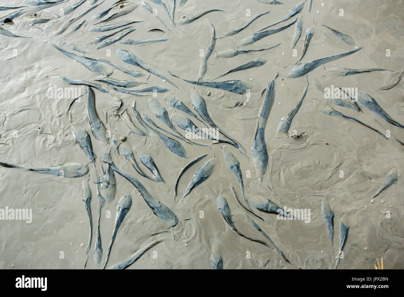 Catfishes in the mud at the end of the dry season - Kenya Stock Photo