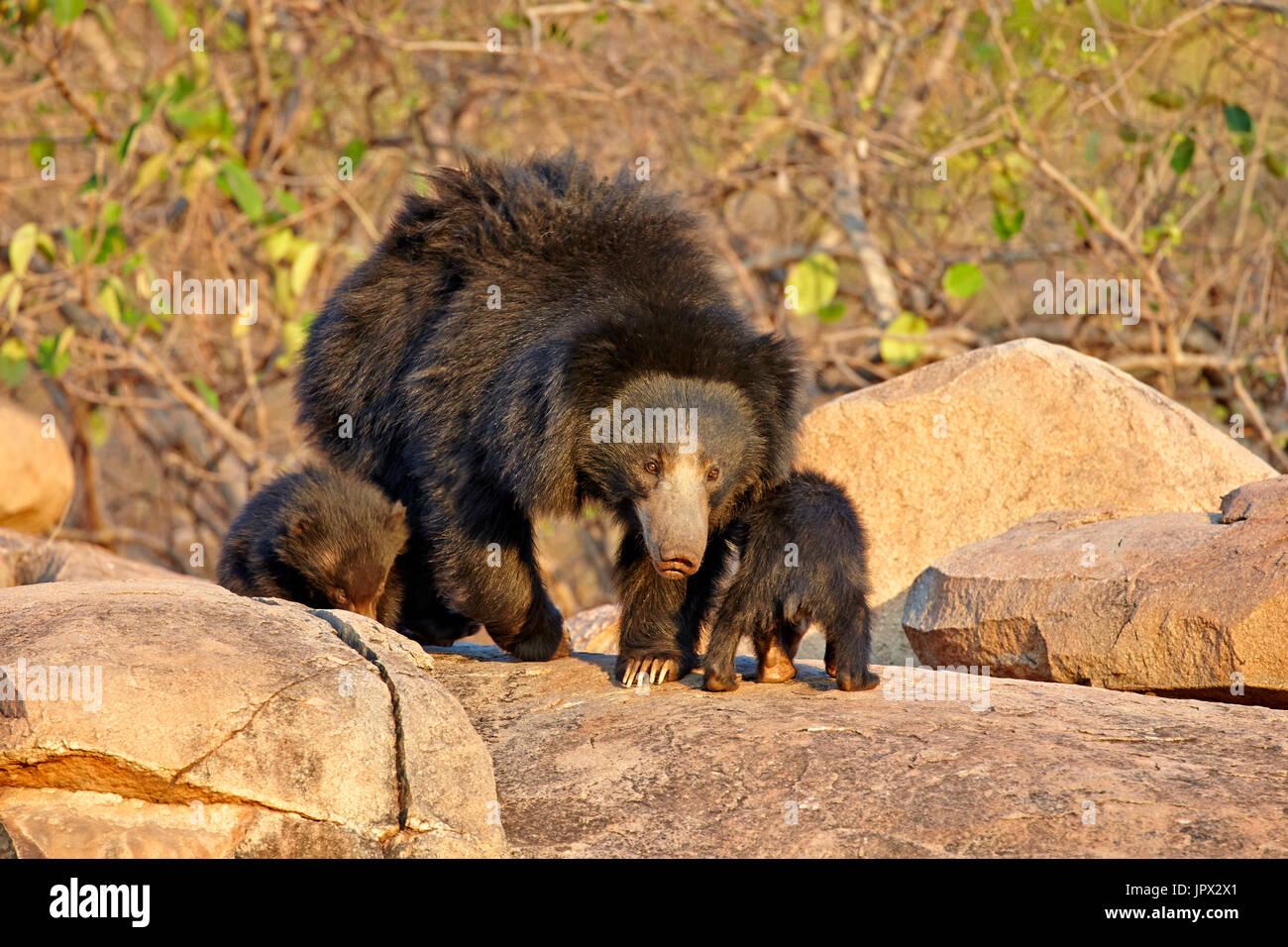 Sloth bear and youngs - Sandur Mountain Range India - Stock Image