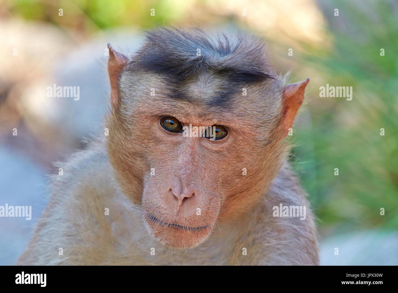 Portrait of Bonnet Macaque - Mountain Sanduru India - Stock Image