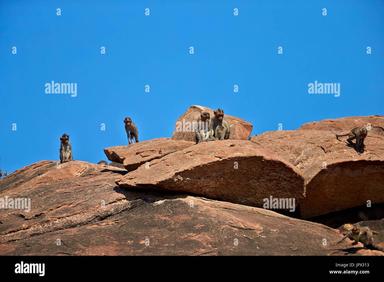 Bonnet Macaques on rock - Mountain Sanduru India - Stock Image
