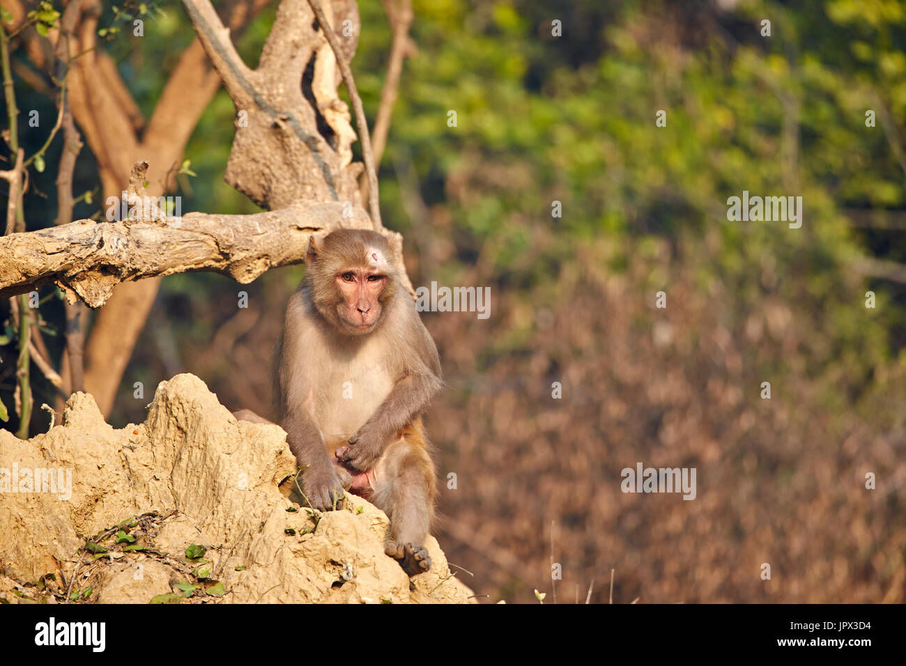 Rhesus macaque on ground - Keoladeo Rajasthan India Stock Photo