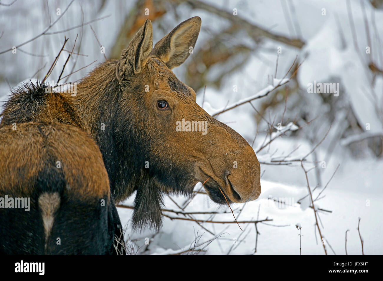 Moose Cow standing willows in deep snow,  portrait close up - Stock Image