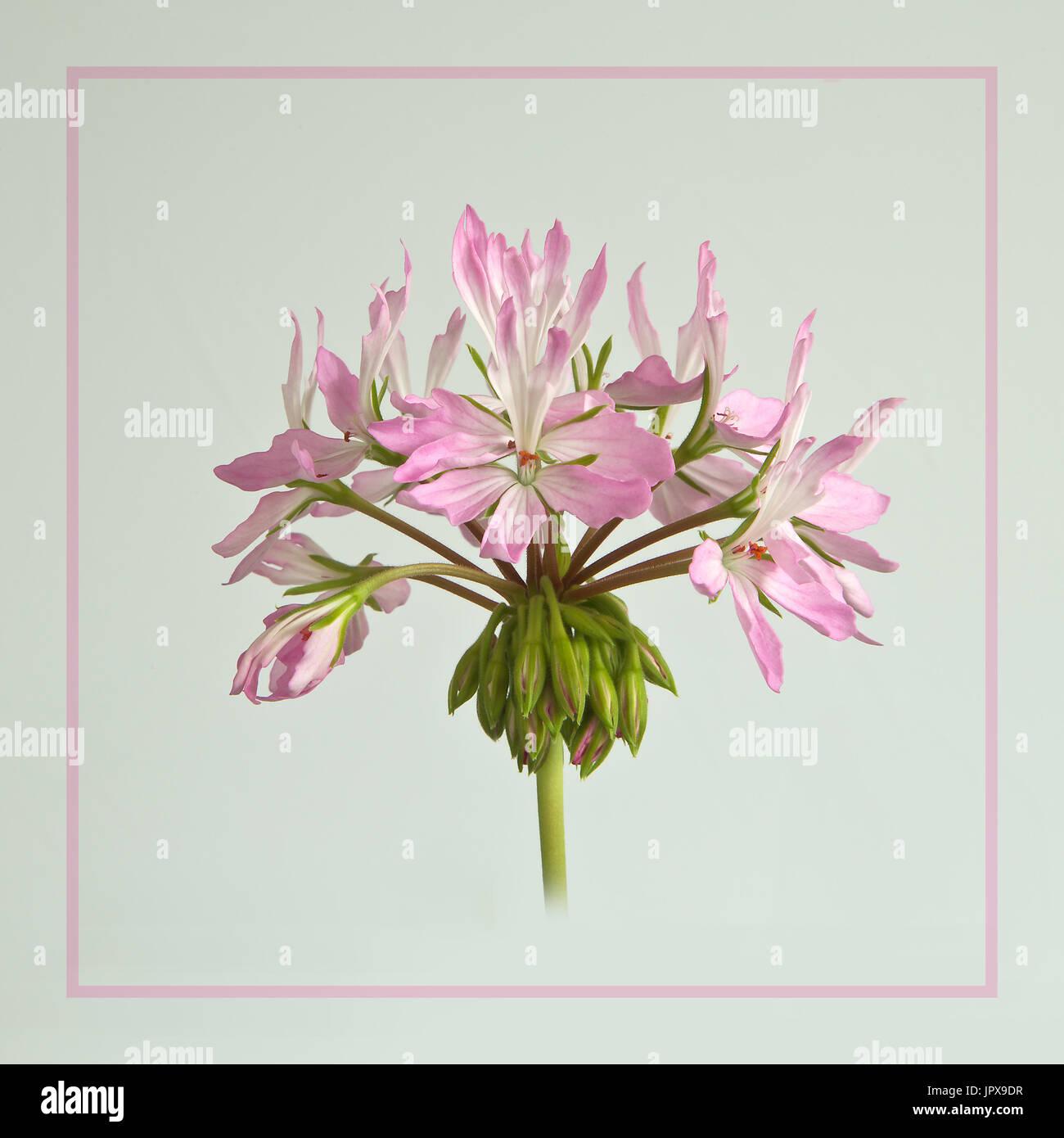 Pelargonium 'Bird Dancer' - Stock Image
