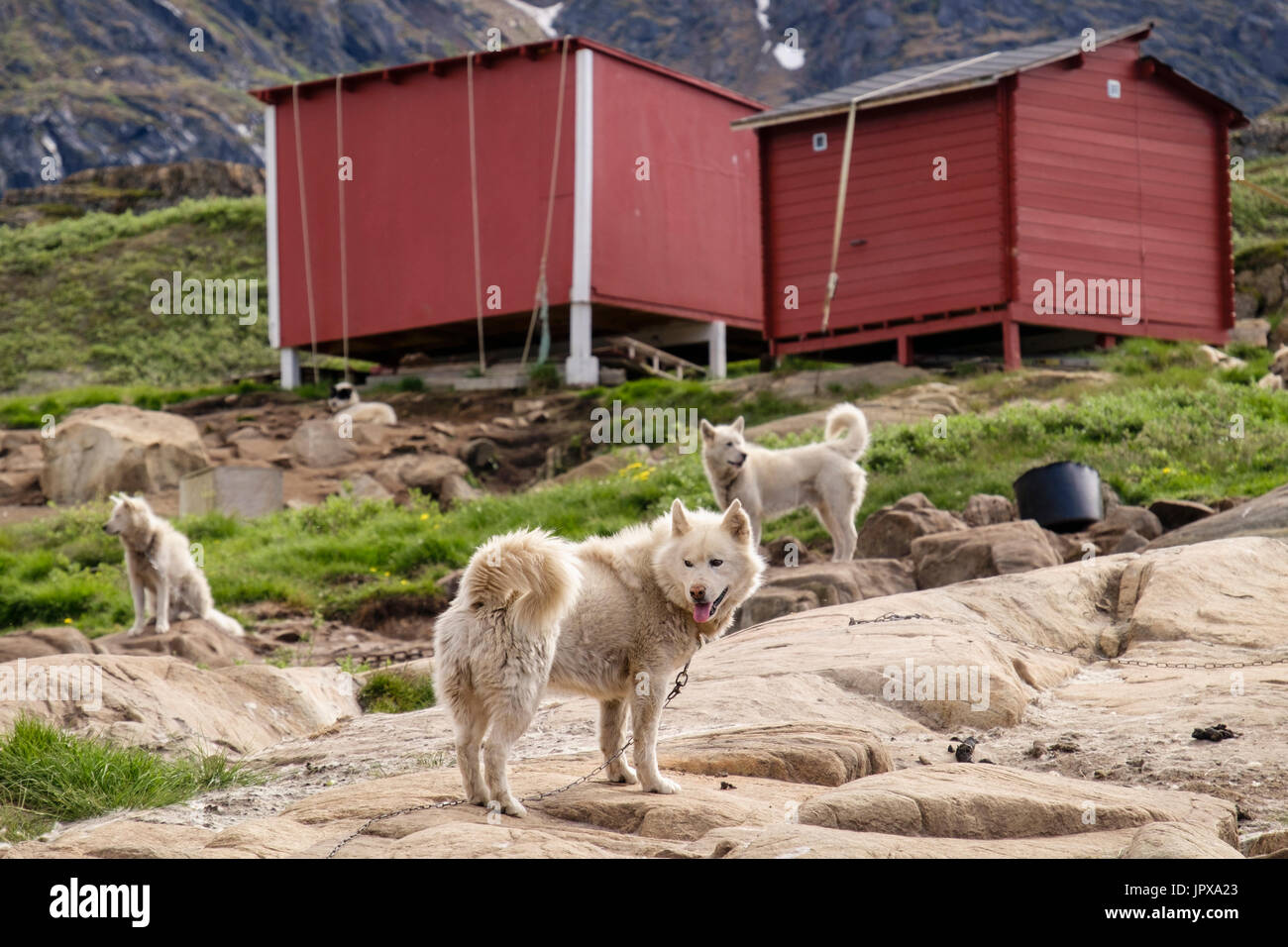 Greenlandic Huskies (Canis lupus familiaris borealis) chained up outside in summer. Sisimiut (Holsteinsborg), Qeqqata, Greenland. - Stock Image
