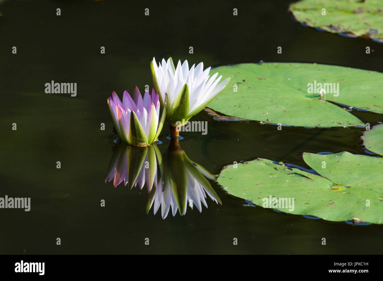 Pink and white water lily Mpumalanga South Africa Stock Photo