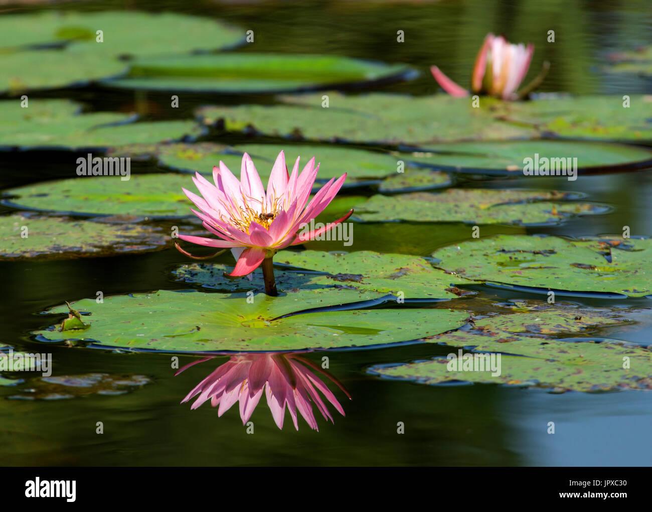 Pink water lily Mpumalanga South Africa Stock Photo