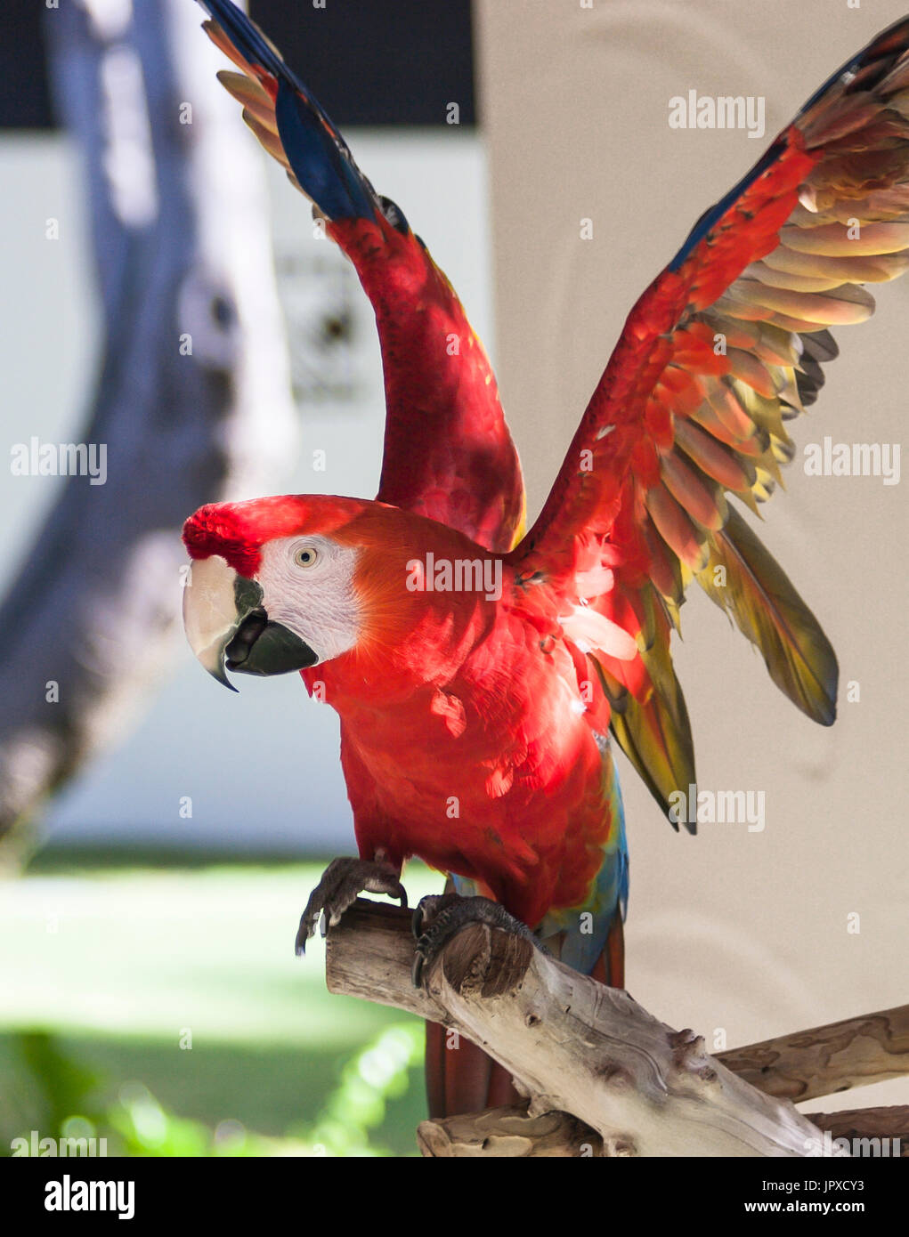 Macaw Parrot With Wings Extended - Stock Image