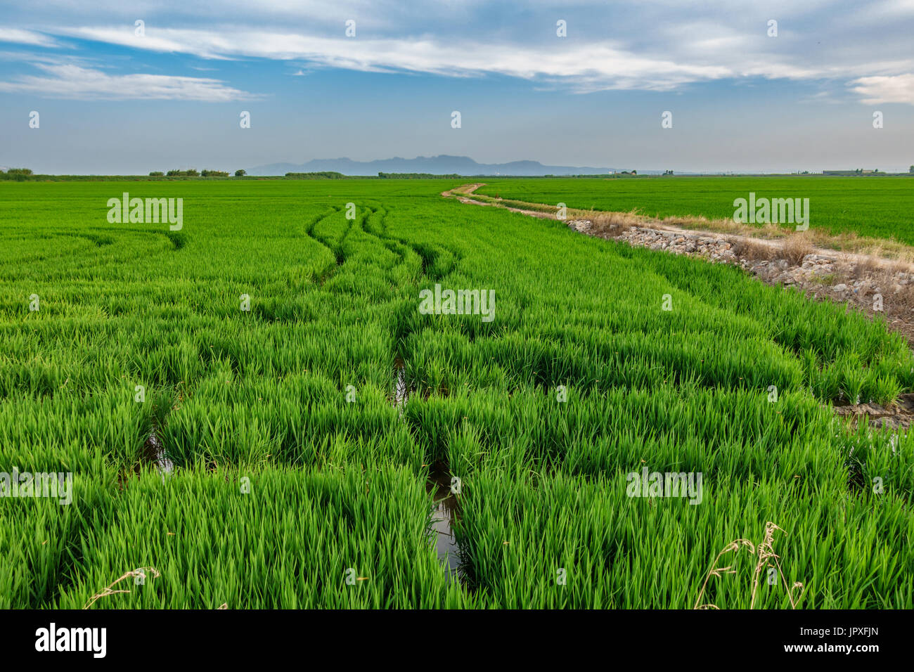 Horchata plantation in Valencia Albufera with truck wheels Stock Photo