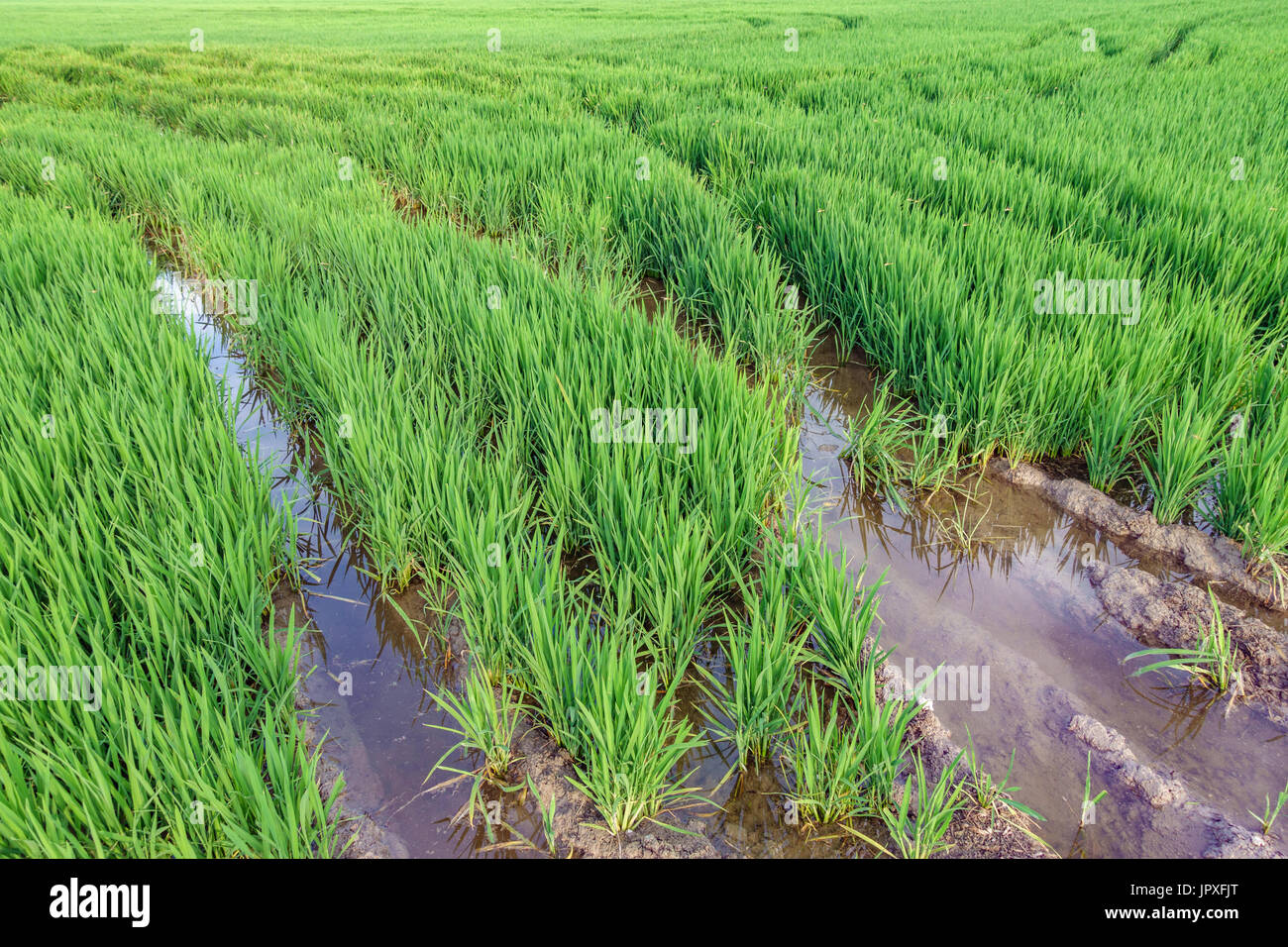 Horchata plantation in Valencia Albufera with tire ruts Stock Photo