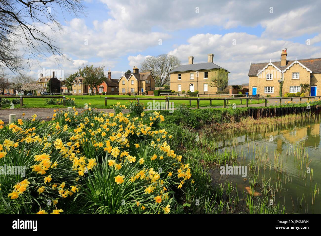 Spring daffodils along the village pond, Ramsey village; Cambridgeshire; England; UK - Stock Image