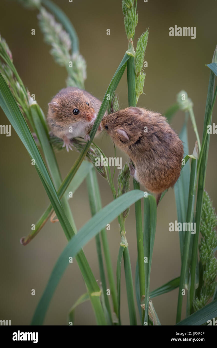 two harvest mice climbing and playing up strands of grass and looking at each other in upright vertical format - Stock Image