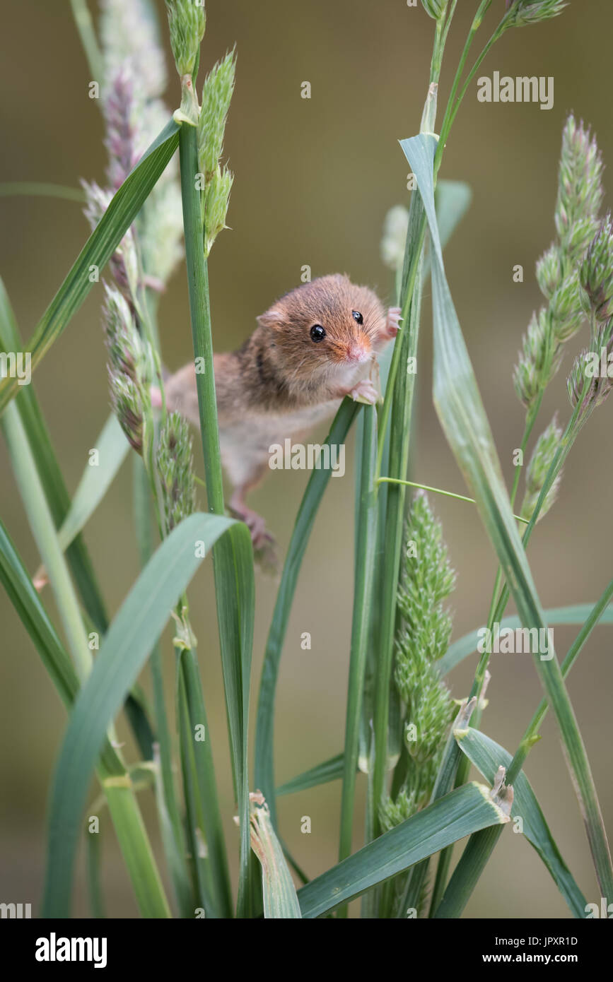A single solitary harvest mouse climbing up strands of grass and stretching between them upright vertical format - Stock Image
