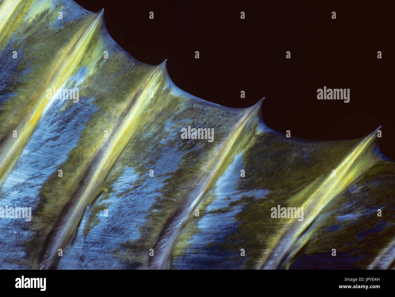 Dorsal fin and spines of Yellowfin Tuna - Mexico - Stock Image
