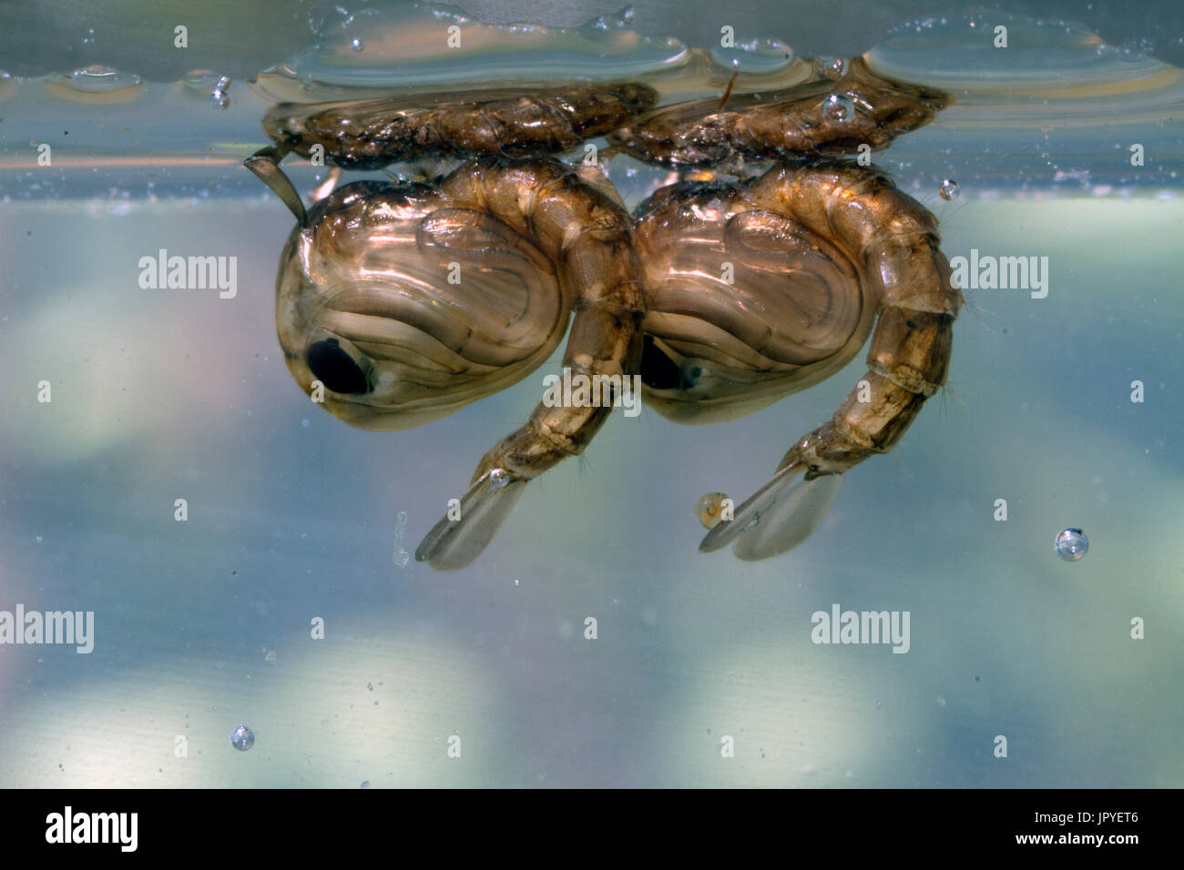 Mosquito larvae beneath the surface - France - Stock Image