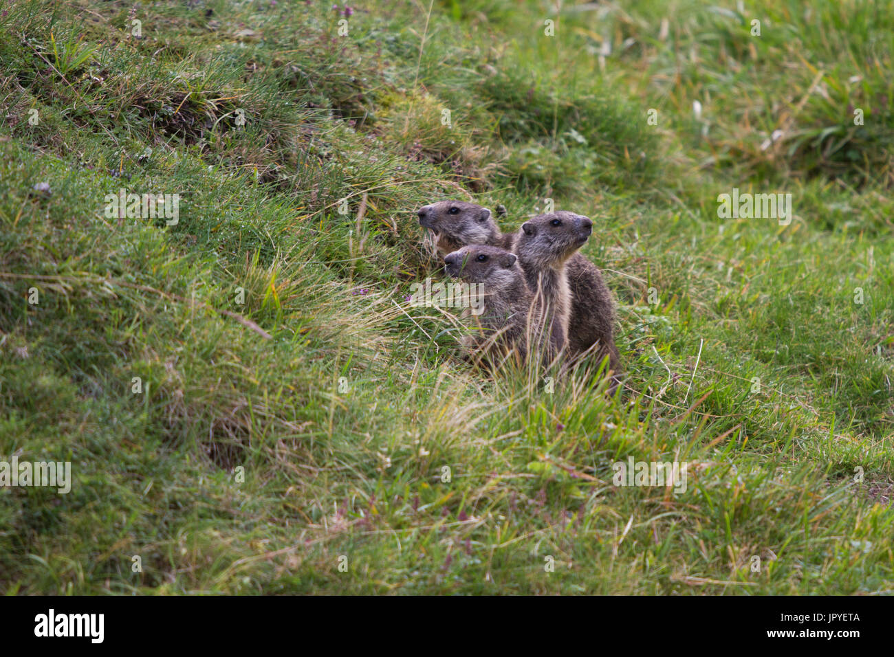 Young Alpine Marmots in the grass - Auvergne France - Stock Image