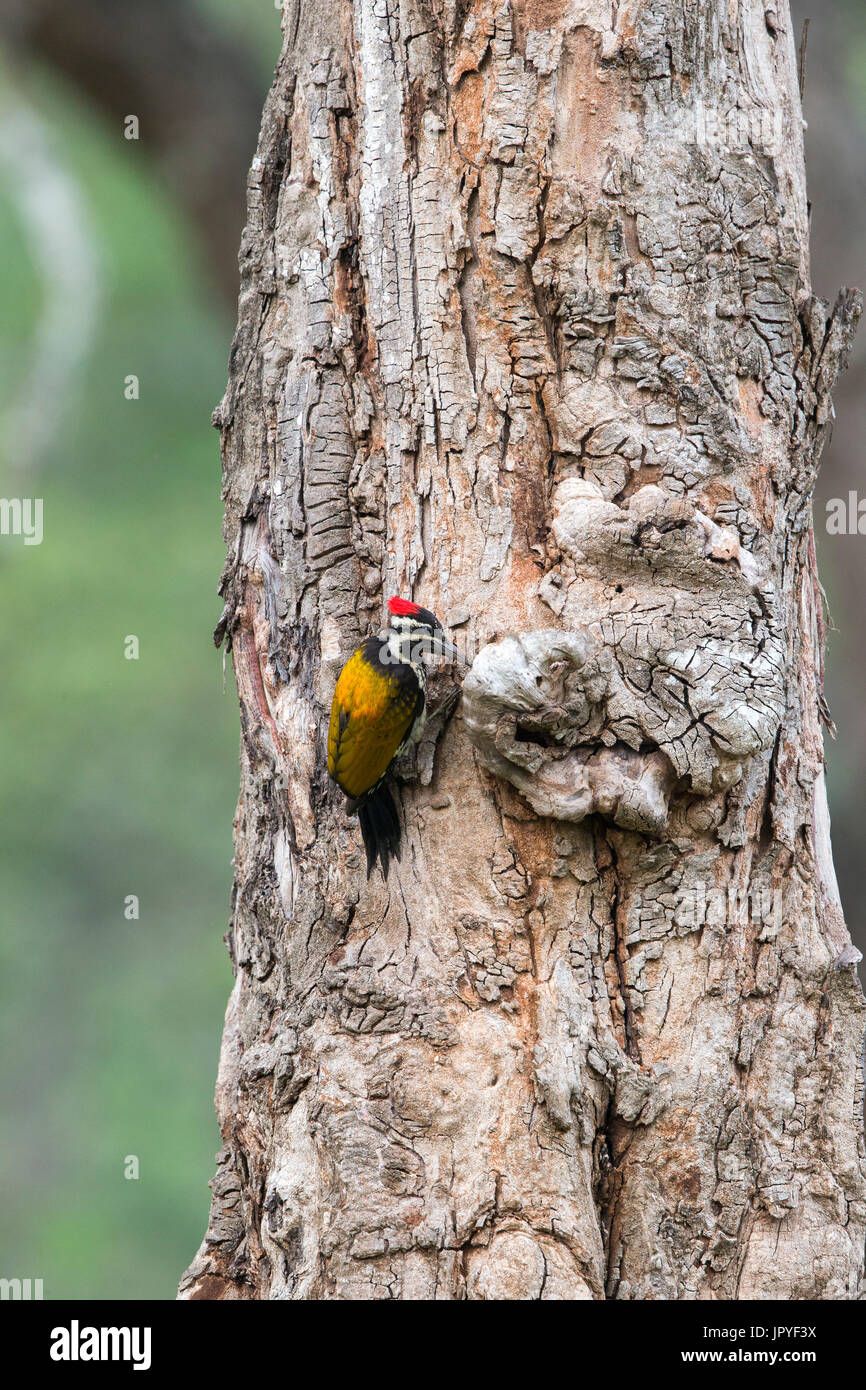Greater Flameback on a trunk - Nagarhole India - Stock Image