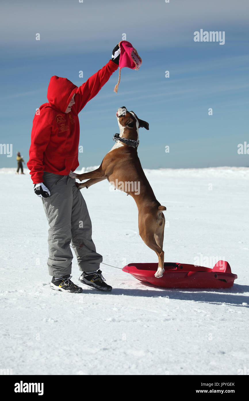 Bulldog with a child playing in the snow - France - Stock Image