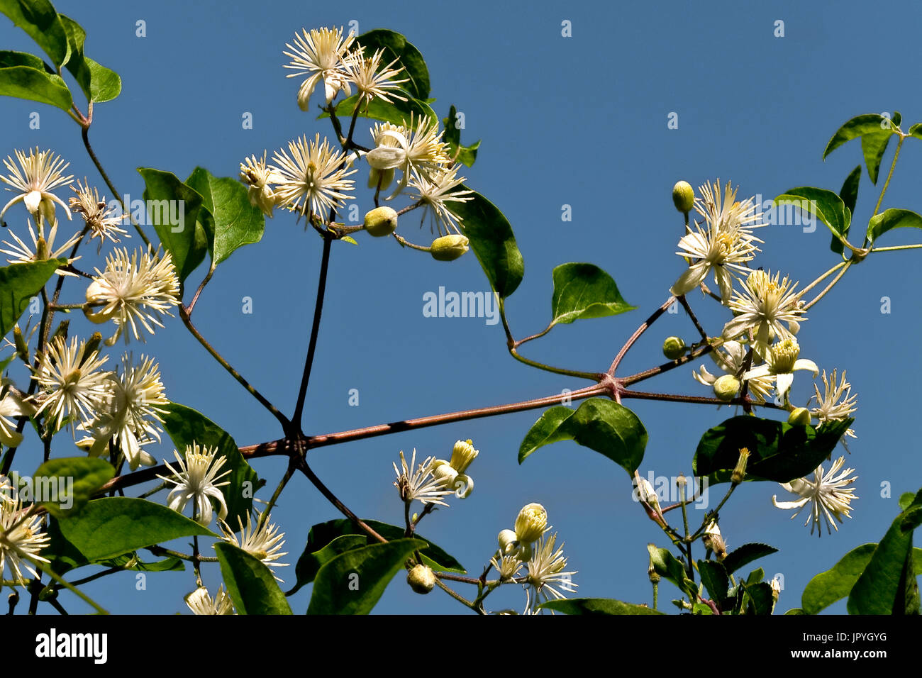 Old man?s beard in bloom in Catalonia - Spain - Stock Image