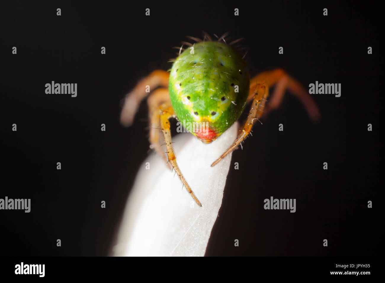Cucumber Green Spider on white petal - France - Stock Image
